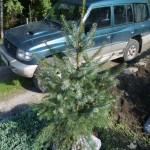 Picea omorika (smrk omorika)