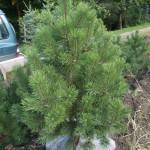 Pinus rotundata (borovice blatka)